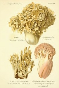 Dessins de trois spécimens de champignons.