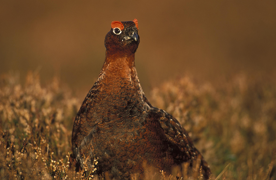Who's the grouse ?